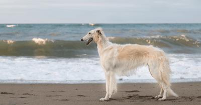 white borzoi standing on beach