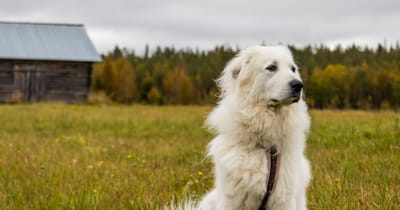 The Great Pyrenees dog
