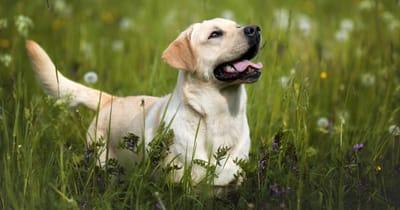 The Labrador retriever dog