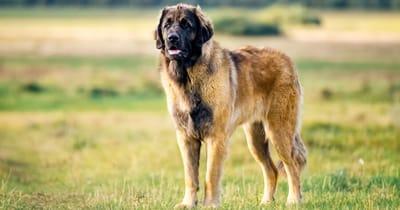 The Leonberg dog