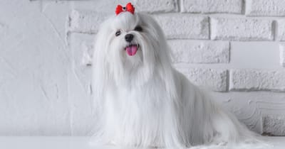 maltese with red bow