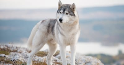 grey siberian husky standing in snow