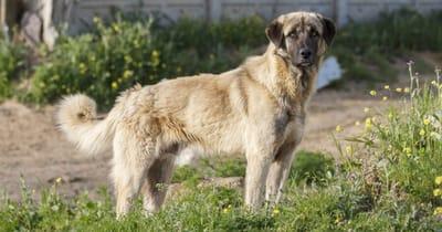 The Anatolian shepherd dog