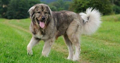 The Caucasian shepherd dog