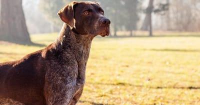 The German Shorthair pointer dog