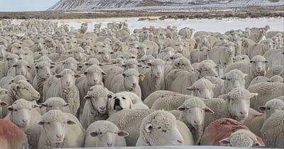 Dog among sheep