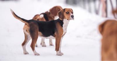 Französische Hunderasse Beagle-Harrier