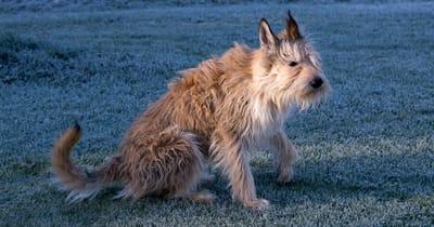 Französische HUnderasse Picardie Schäferhund oder Berger de Picardie
