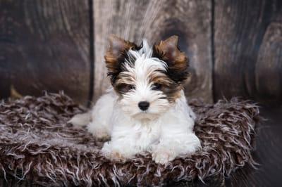 Biewer Yorkshire Terrier Welpe
