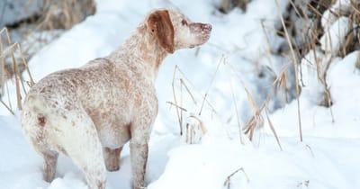 Französische Hunderasse Bourbonnaiser Vorstehhund