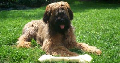 Französische Hunderasse Briard