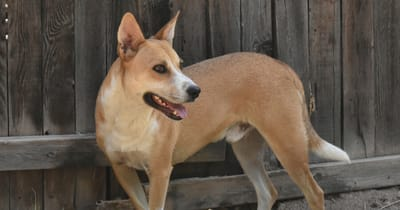 Amerikaanse Dingo