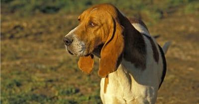 Französische Hunderasse Chien d'Artois
