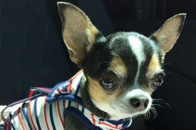 Wasserkopf Chihuahua