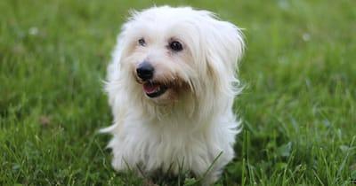 Französische Hunderasse Coton de Tuléar