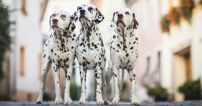 Drei Dalmatiner