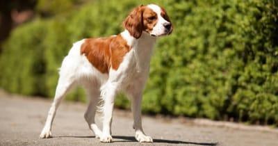Französische Hunderasse Epagneul Breton