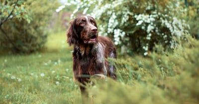 Französische Hunderasse Epagneul Picard
