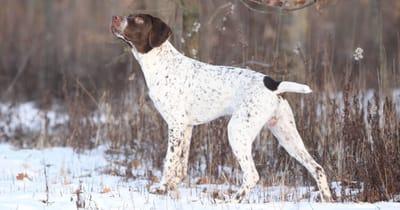 Französische Hunderasse Französischer Vorstehhund