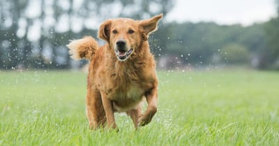 Golden Retriever rennt