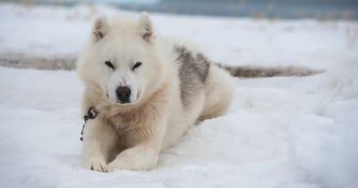 Grönlandhund im Schnee