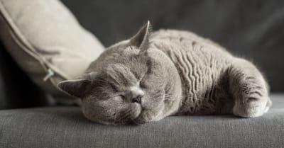gatto grigio tche dorme sul divano grigio