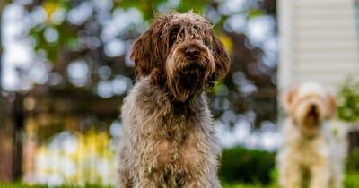 Französische Hunderasse Griffon Korthals