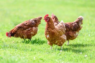Zwei glückliche Hühner