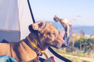 Hund Camping