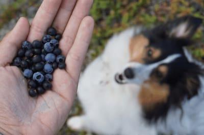 Hund mit Heidelbeeren