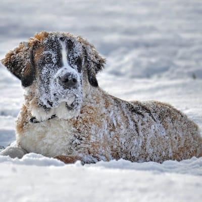 Hund liegt im Schnee
