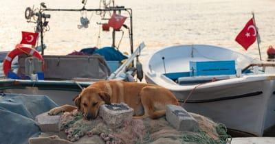 Hund vor türkischen Fahnen