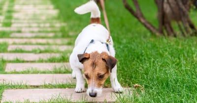Hund schnuppert beim Gassigehen