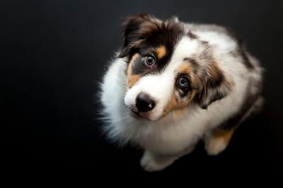 Hund mit zwei verschiedenen Augen