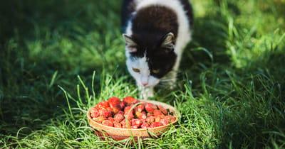Katze frisst Erdbeeren
