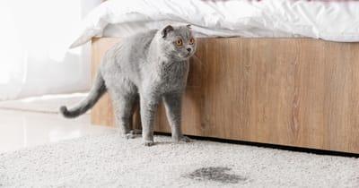 Gatto grigio ha fatto pipi sul tappeto