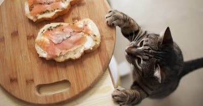 Gatto tigrato osserva il cibo sul tavolo