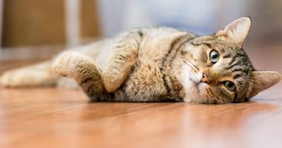 gatto con atassia cerebellare disteso sul pavimento