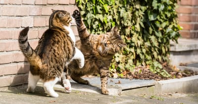 due gatti con atassia combattono per il territorio