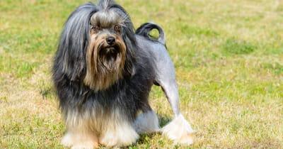 Französische Hunderasse Löwchen