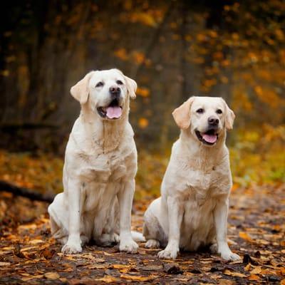 Labrador der Showlinie