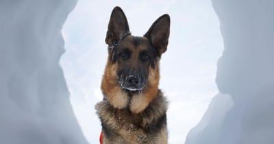 Lawinenhund im Schnee