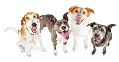 Mischlingshunde leben länger