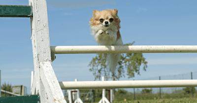 Chihuahua beim Agility