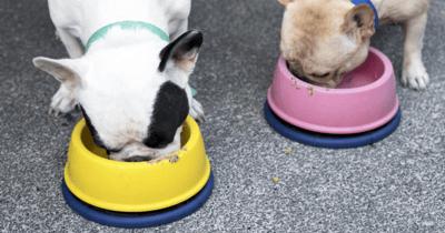 Französische Bulldoggen beim Fressen