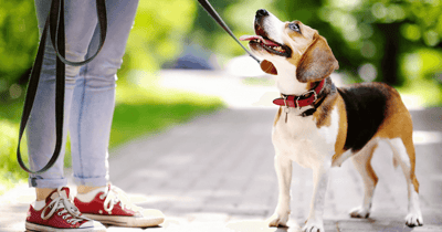 Gassi gehen mit Beagle