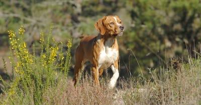 Portugese hondenrassen Perdigueiro Português