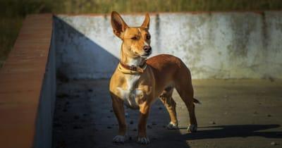 Portugese hondenrassen Podengo Português