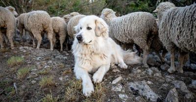 Französische Hunderasse Pyrenäen Berghund
