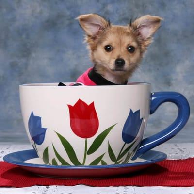 Hund in Teetasse